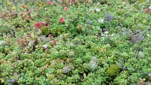 Green roof close up